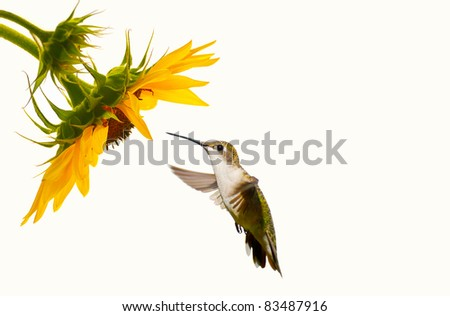 Ruby throated hummingbird, female,  in motion approaching a beautiful sunflower head on a pale cream background with copy space. - stock photo