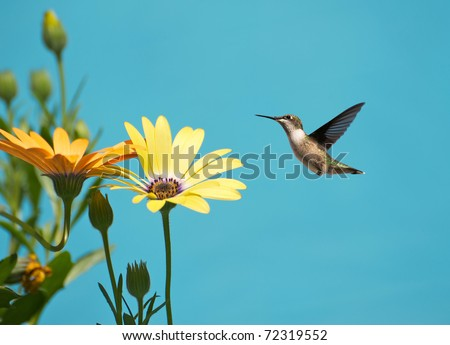 Ruby throated hummingbird, female,  in motion approaching some African Daisies in the sunshine. - stock photo
