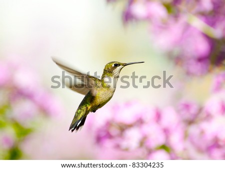 Ruby throated hummingbird, female, in motion in the garden. - stock photo
