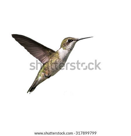 Ruby-throated Hummingbird in Flight against White Background, Isolated - stock photo