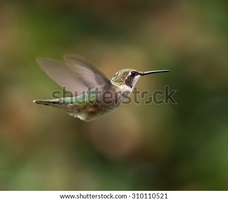Ruby-throated Hummingbird in Flight on Green Background - stock photo