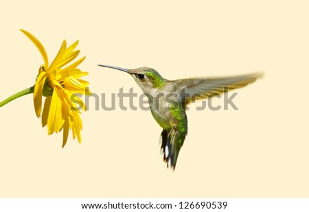 Ruby throated hummingbird in motion approaching a yellow flower with copy space.