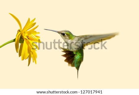 Ruby throated hummingbird in motion approaching a yellow flower with copy space. - stock photo
