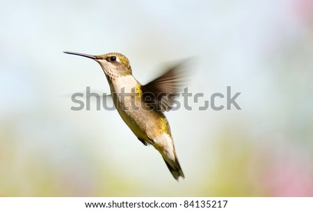 Ruby throated hummingbird in motion in the garden in the summer.
