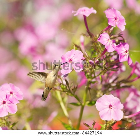 Ruby throated hummingbird in the garden in summer. - stock photo