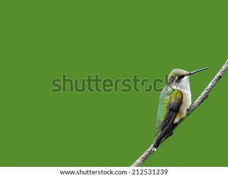 Ruby throated hummingbird, juvenile male, perched on a branch, isolated on green. - stock photo