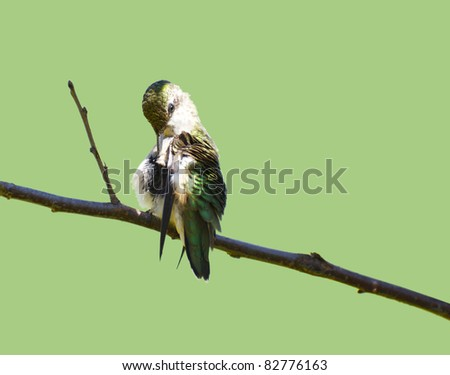 Ruby throated hummingbird, juvenile male,  preening his feathers on a branch in the garden in summer  isolated on green with copy space. - stock photo