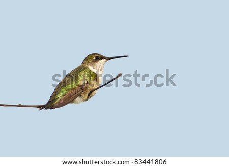 Ruby throated hummingbird, juvenile male,  taking a rest on a flower stem isolated on white with copy space. - stock photo
