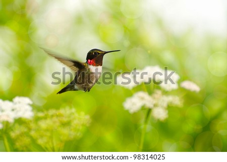 Ruby throated  hummingbird male in motion in the sunshine surrounded by flowers showing his brilliant red throat with a colorful bokeh background. - stock photo