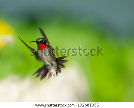 Ruby throated hummingbird male in motion showing his brilliant red throat. - stock photo