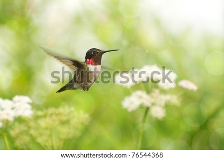 Ruby throated hummingbird, male,  in motion surrounded by flowers showing his brilliant red throat, with bokeh background. - stock photo
