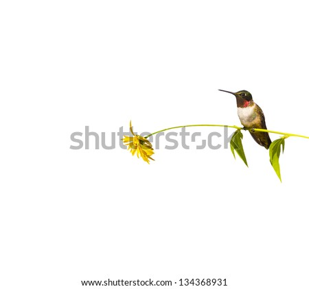 Ruby throated hummingbird male taking a rest on a flower stem isolated on white with copy space. - stock photo