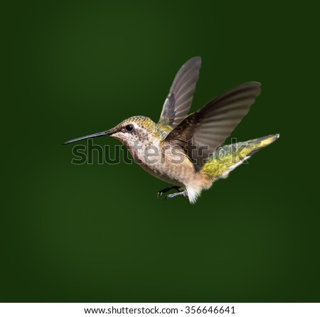 Ruby-throated Hummingbird on Green Background - stock photo