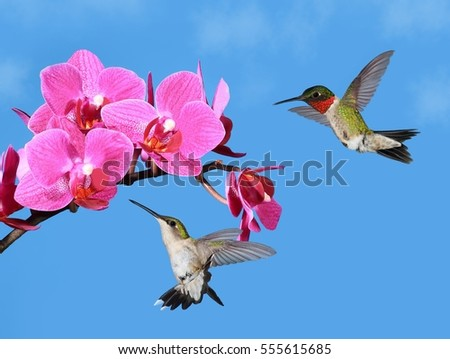 Ruby- throated hummingbird pair (Archilochus colubris) at pink orchids.