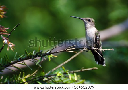 Ruby Throated Hummingbird Perched in a Tree - stock photo