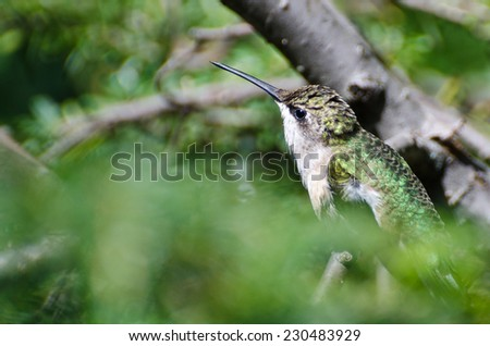 Ruby-Throated Hummingbird Perched in a Tree - stock photo