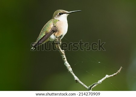 Ruby-throated Hummingbird perched on a branch.