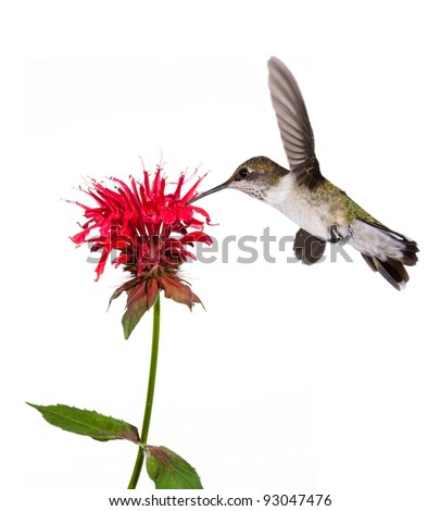 ruby throated hummingbird sips the nectar of a red bee balm flower; white background - stock photo