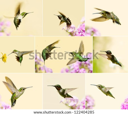 Ruby throated hummingbirds collage with male, juvenile, and females in motion in the garden in summer. - stock photo