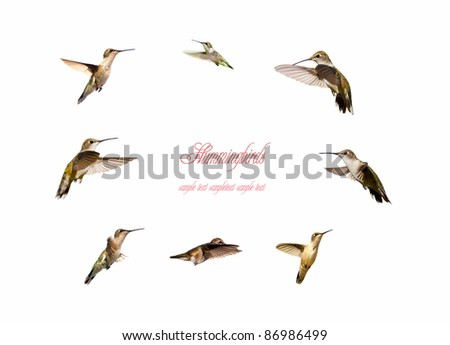 Ruby throated hummingbirds collection on white with copy space. - stock photo