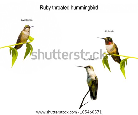 Ruby throated hummingbirds comparison to illustrate the different markings and coloring between the adult male, adult female and juvenile male isolated on white. - stock photo