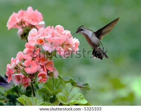 Rubythroated hummingbird feeding on a flowering plant - stock photo