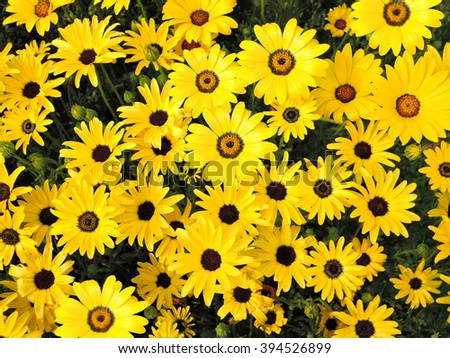 Rudbeckia hirta, commonly called black-eyed-susan or Yellow sunflowers - stock photo