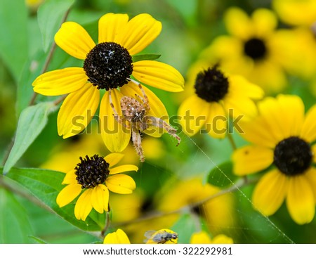 Rudbeckia triloba yellow flowers with spider, spider net, (browneyed Susan, brown-eyed Susan, thin-leaved coneflower, three-leaved coneflower). - stock photo