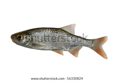 rudd fish on white background - stock photo