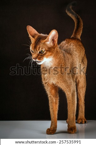 Ruddy abyssinian cat on black brown background. - stock photo