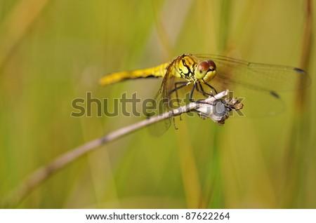 Ruddy Darter resting on grass halm - stock photo