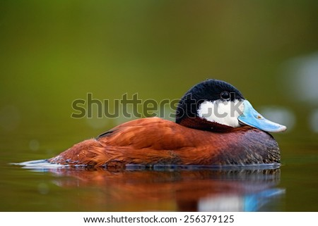 Ruddy duck chilling on the water. (Photo taken in UK, London) - stock photo