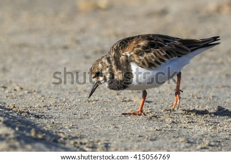 Ruddy Turnstone (Arenaria interpres) on the ocean beach, Galveston, Texas, USA. - stock photo