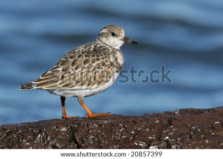 Ruddy Turnstone (Arenaria interpres) posing on rocks. - stock photo
