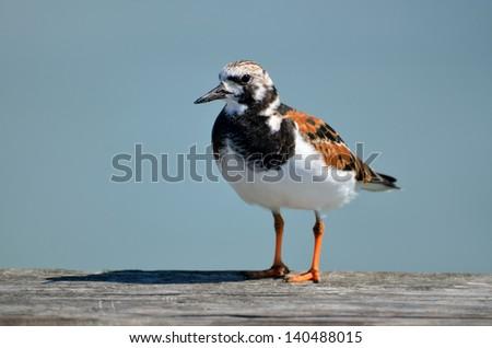 Ruddy Turnstone standing on fishing pier railing Florida, USA. - stock photo