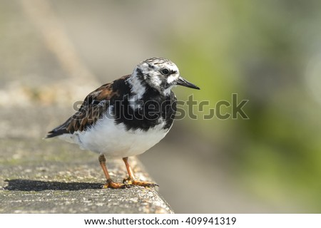 Ruddy turnstone wading bird, Arenaria interpres, foraging in between the rocks at the shore. These birds live in flocks at shore and are migratory. - stock photo