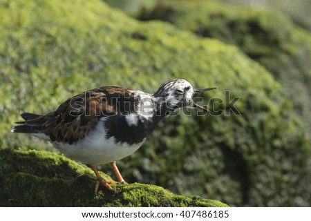 Ruddy turnstone wading bird, Arenaria interpres, shouting, singing, calling and foraging in between the rocks at the shore. These birds live in flocks and are migratory. - stock photo