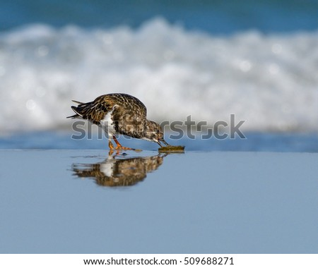 Ruddy Turnstone with Reflection Foraging on the Seashore