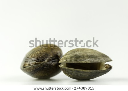 Ruditapes philippinarum, an edible species of saltwater clam, its a marine bivalve mollusk in the family Veneridae, the Venus clams. Harvest in South Portugal Atlantic cost.