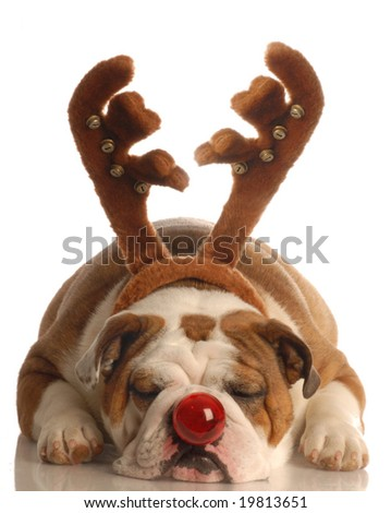 Rudolph the Red-Nosed Bulldog - stock photo