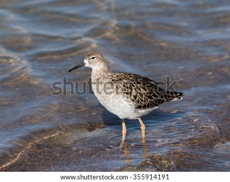 Ruff Bird Foraging