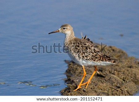 Ruff, female