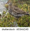 Ruffed Grouse in the Alpine area of the mountain on a rainy day, this is a young Ruffed Grouse - stock photo