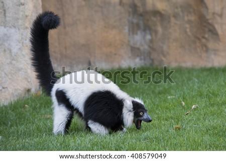 Ruffed lemur on a ground. - stock photo