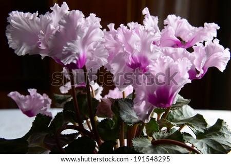 Ruffled Cyclamen in pink shades  - stock photo