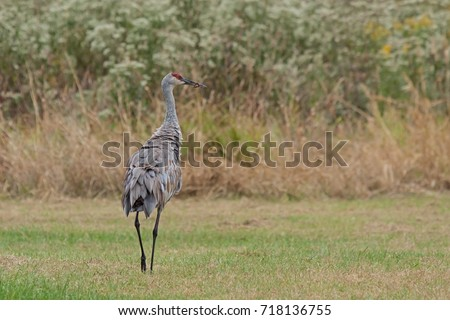 Ruffled feathered and showing its rump, a sandhill crane walks in  a meadow of gone to seed ironweed and golden rod.
