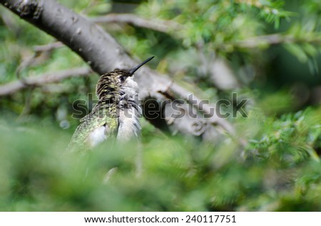 Ruffled Hummingbird Looking For Trouble - stock photo