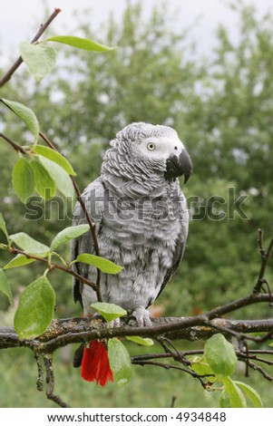 Ruffled up african grey parrot(Psittacus erithacus) sitting on a tree after the rain