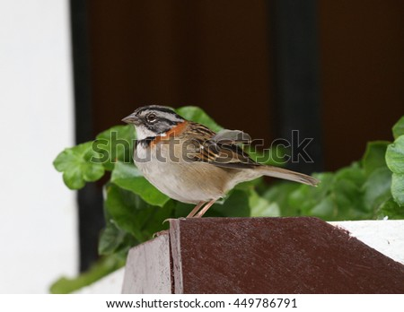 Rufous-collared sparrow perched on a window flower pot holder - stock photo