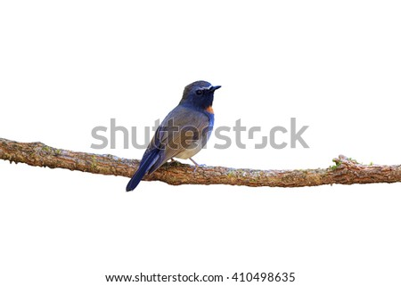 Rufous-gorgeted Flycatcher (Ficedula strophiata) perching on a branch, white background